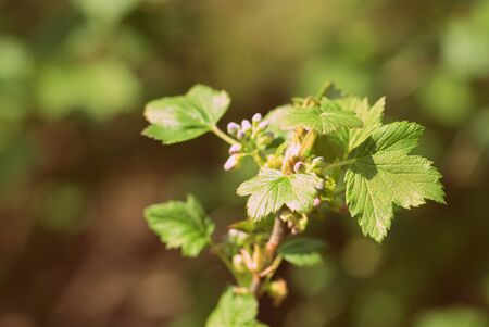 FLowering red currant bush in the spring garden close up