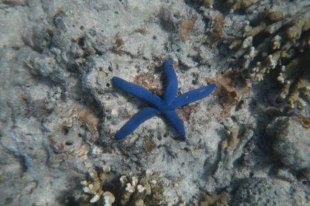 Exotic blue starfish on the bottom of the Pacific Ocean near the coast of Fiji Islands Reklamní fotografie