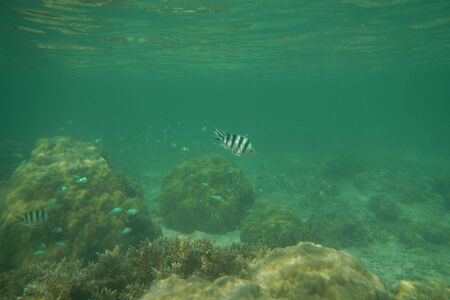 Sergeant fish swims in the water of the Pacific Ocean near the Fiji Islands