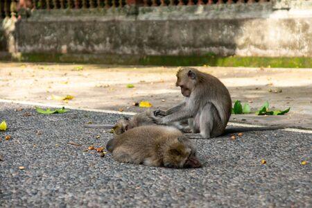 Monkeys on the territory of the Ubud sacred monkey forest. Bali, Indonesia