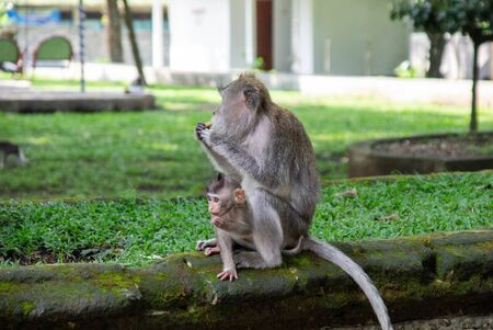 A monkey with a cub in the Ubud sacred monkey forest. Bali, Indonesia