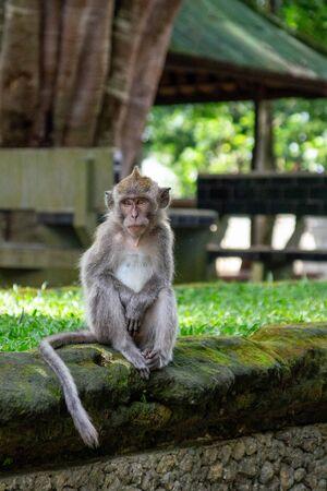 Sitzender Affe im heiligen Affenwald von Ubud. Bali, Indonesien
