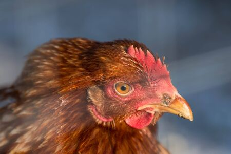 Portrait of a brown hen in an outdoor garden on a sunny day