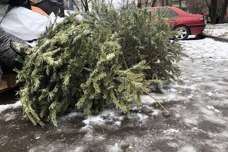 Discarded Christmas trees in the trash after the holidays