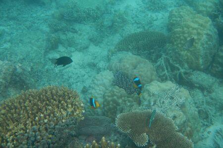 Bright clown fish swimming in the water of the Pacific Ocean near Fiji islands Stockfoto