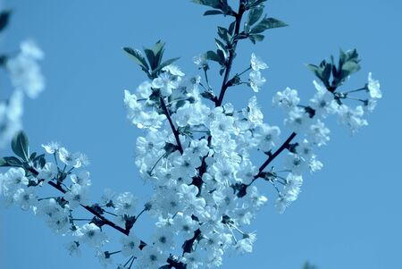 Cherry tree flowers on a sunny day. Spring background blue color toned