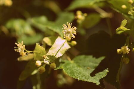 Blooming linden tree on a bright sunny spring day close-up. Retro style toned