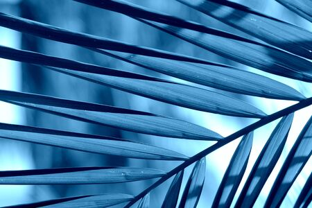 Palm leaves close-up. Tropical background blue color toned