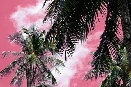Coconut tree against the sky unusual pink color. Tropical background Stockfoto