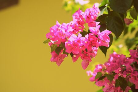 Beautiful bougainvillea blooms in a tropical garden on a summer sunny day. Retro style toned