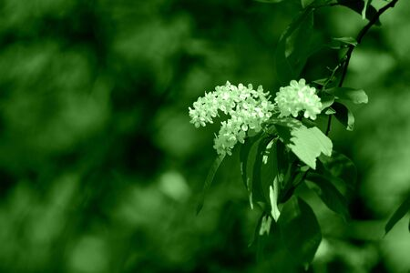 Flowering bird cherry tree on a sunny spring day. Green color toned
