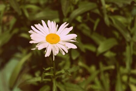 Daisies close-up in a summer garden on a sunny day. Retro style toned Stockfoto