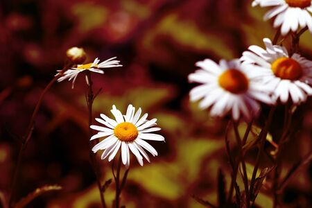 Camomile flowers in summer sunny day close-up. Red color toned Stockfoto
