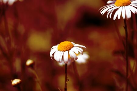 Garden camomile flower in summer sunny day close-up. Red color toned