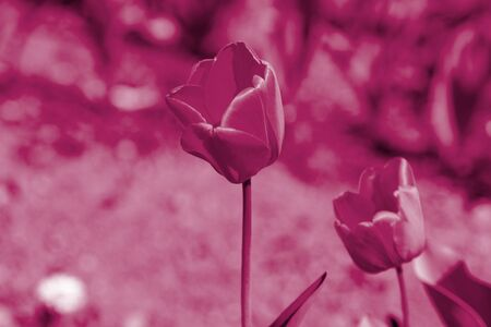Tulips on a sunny summer day in the garden close-up. Natural background pink color toned Stockfoto