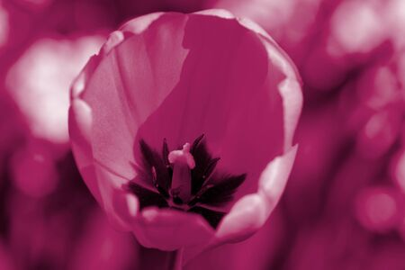 Beautiful tulip on a sunny summer day in the garden close-up. Natural background pink color toned