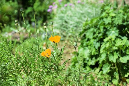 Yellow poppy flowers in the summer garden on a bright sunny day 版權商用圖片