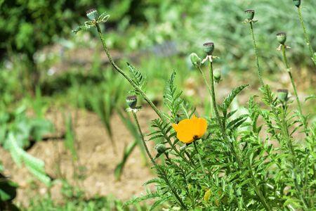 Yellow poppy flower in the garden on a bright summer day