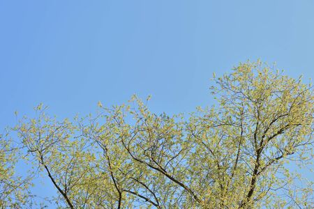 Crowns of trees against a blue spring sky covered with fresh foliage. Natural background. The concept of freshness, youth, growth and spring