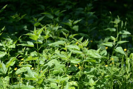 Green nettle leaves in the summer forest on a sunny day. Medicinal plant in the natural environment