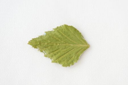 Birch leaf filled with epoxy resin on a white textile background close-up. The basis for a pendant or earrings. Handmade jewelry in the manufacturing process. Top view, copy space