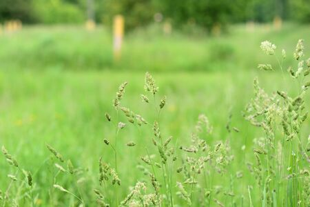 Green grass in a summer meadow closeup. Natural background