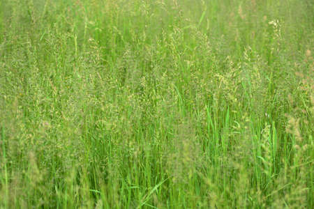 Bright green grass in a summer meadow closeup. Natural background Stockfoto