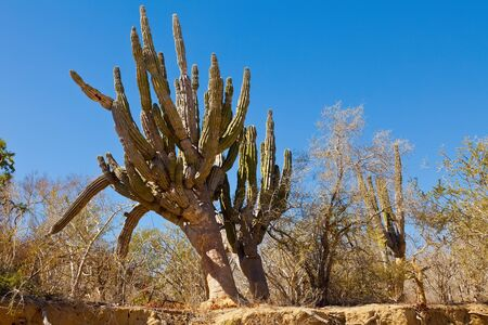 Large cactus growing in the Mexican desert, in Los Cabos, Mexico photo