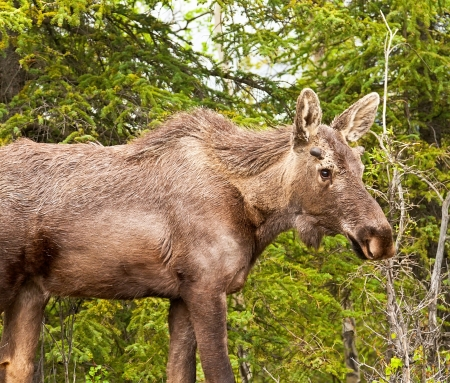 moose antlers: Immature male moose wandering through Denali National Park, Alaska