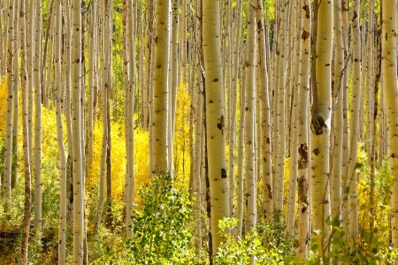 Thick forest of golden Aspen trees photo