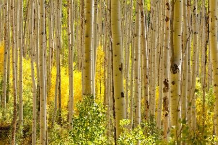 aspen tree: Thick forest of golden Aspen trees