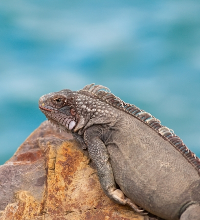 Large iguana resting on a rock in the Caribbean photo