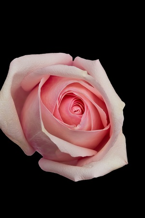 Single pink rose on black background photo