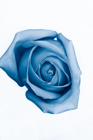 blue rose: Blue rose against a white background Stock Photo