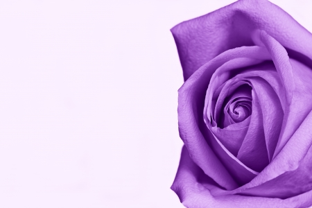 purple rose: Single purple rose against white background (room for text)