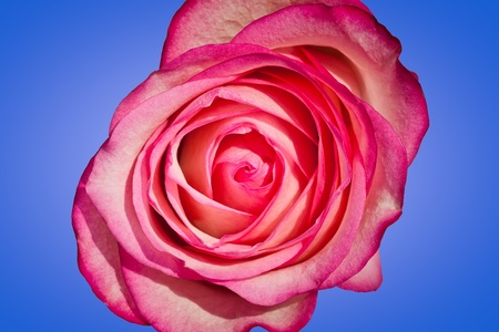 Single pink rose against a blue background photo