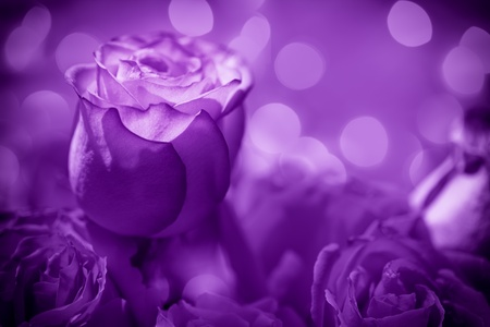 purple rose: A soft focus, abstract effect on bouquet of roses