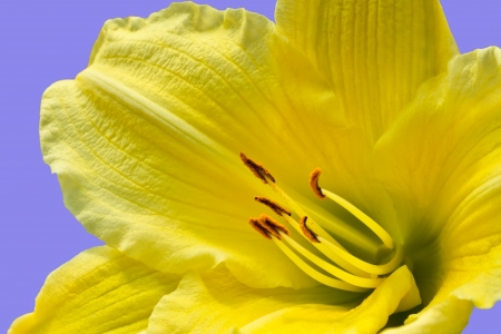 day lily: Beautiful yellow day lily against a violet background Stock Photo