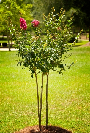 planted: Newly planted young Crape Myrtle tree Stock Photo