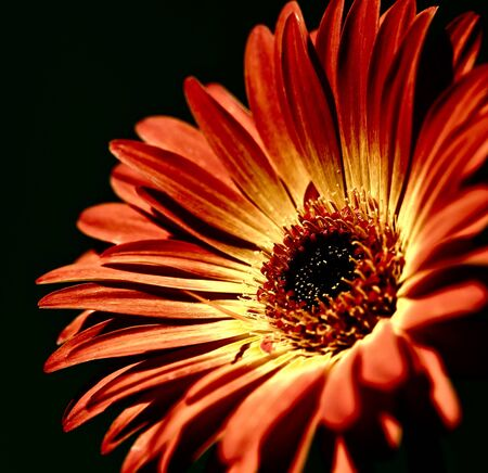 softly: Softly lit, red gerber daisy flower with a glamour glow