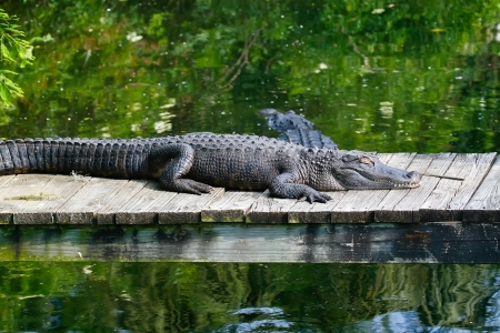 Large alligators in the swamp land of Florida Stock Photo - 23050114