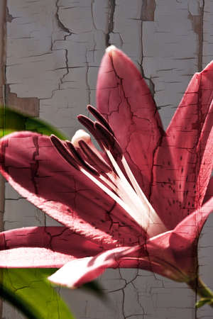 special effect: Red day lily flower with a cracked paint special effect Stock Photo