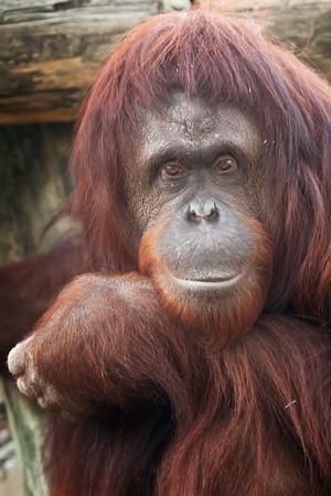 orangutan: Adult Sumatran Orangutan staring back