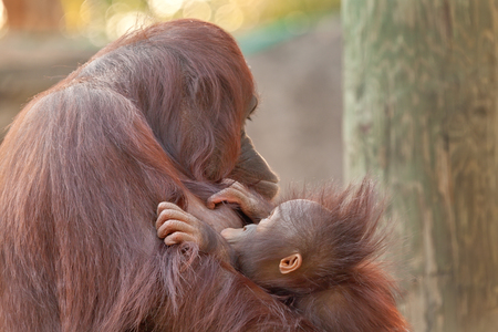 The bonding of mother and baby orangutans