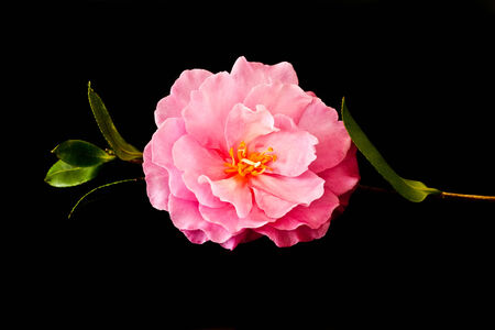 camellia: Pink Camellia flower with stem on black