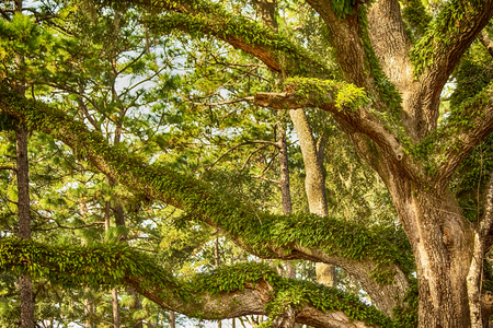 Large aged oak tree in the countryside of Tallahassee, Florida Stock Photo