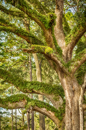 tallahassee: Large aged oak tree in the countryside of Tallahassee, Florida Stock Photo