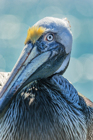 Portrait closeup of Brown Pelican bird in Florida