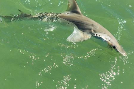 fishing line: Young Bonnethead Shark on fishing line Stock Photo
