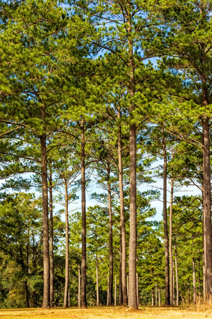 Tallahassee: Tall glorious pine trees in Tallahassee, Florida